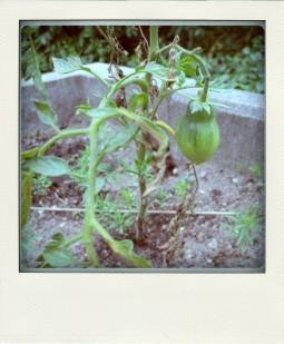 tomaten2015_wildfürunbekannt